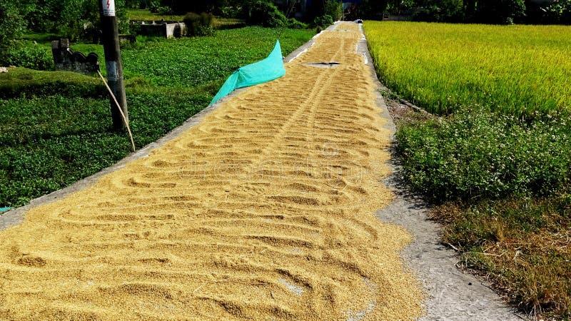 在收获天的米的金黄稻路 免版税图库摄影