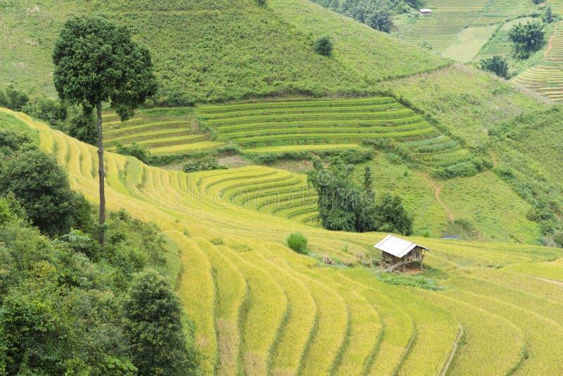 在收获季节的亚洲米领域在Mu Cang柴,安沛市,越南 露台的稻田在米,麦子广泛使用和 免版税库存图片