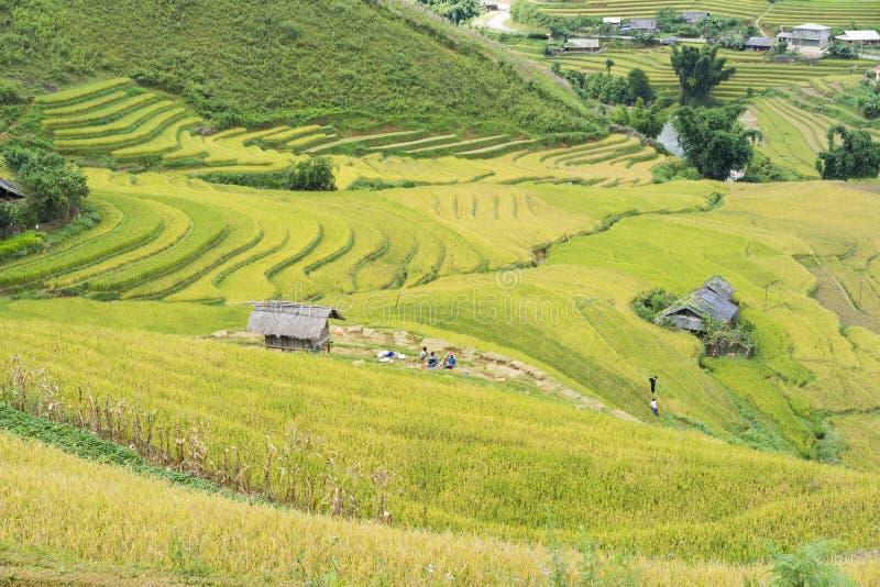 在收获季节的亚洲米领域在Mu Cang柴,安沛市,越南 露台的稻田在米,麦子广泛使用和 库存图片