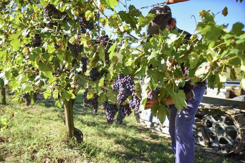 在收获期间的年轻农夫人在意大利在一晴朗的秋天天 库存照片