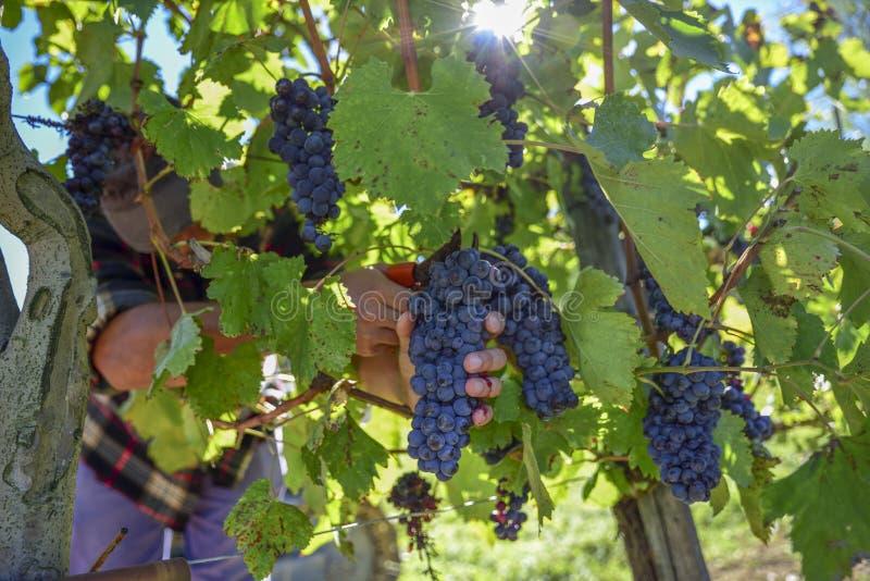在收获期间的年轻农夫人在意大利在一晴朗的秋天天 库存图片