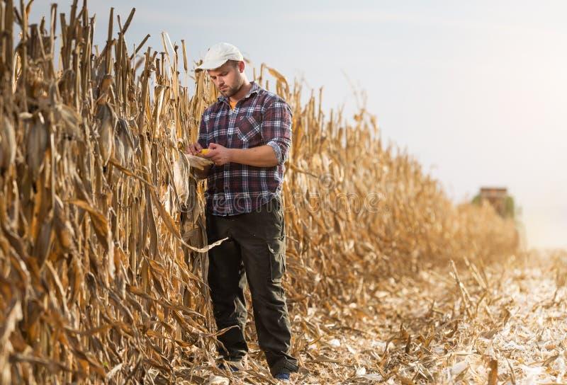 在收获期间,年轻农夫审查在麦地的玉米 免版税库存照片