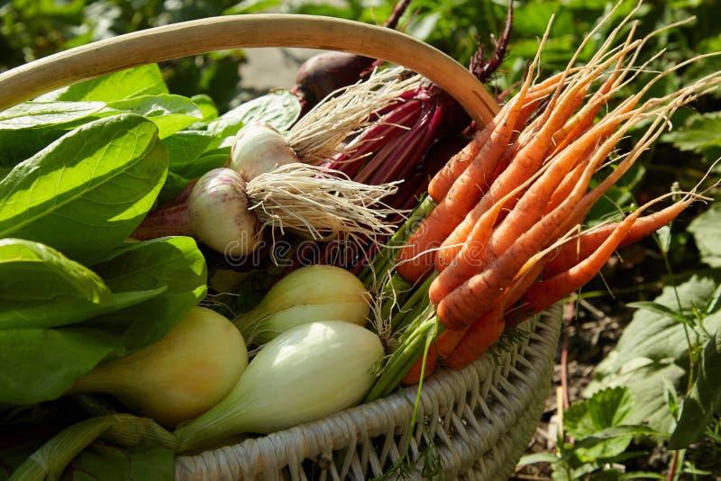 在收获篮子:甜菜,葱,大蒜,户外红萝卜 免版税图库摄影