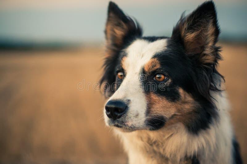 在收获领域的大牧羊犬狗 免版税库存照片