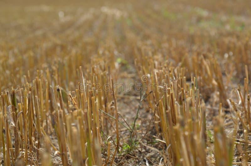 在收获麦子以后 库存照片