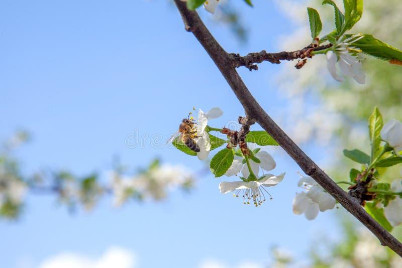 在收集花粉和花蜜的苹果树白花的蜜蜂做与医药好处的甜蜂蜜 图库摄影