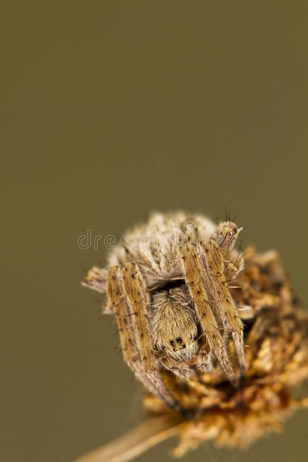 在攻击姿势的蜘蛛 免版税库存图片
