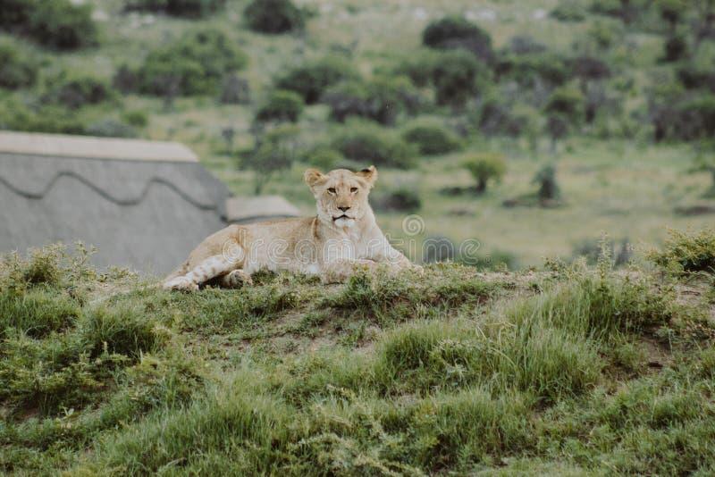 在放置在地面上和看照相机的小山的幼狮 库存图片