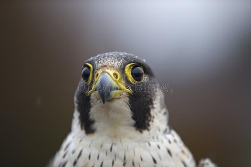 在敲响的德国捉住的一女性旅游猎鹰游隼科peregrinus的画象 图库摄影
