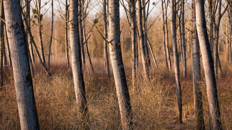 在文件的柳树在干燥期间在冬天 免版税库存照片