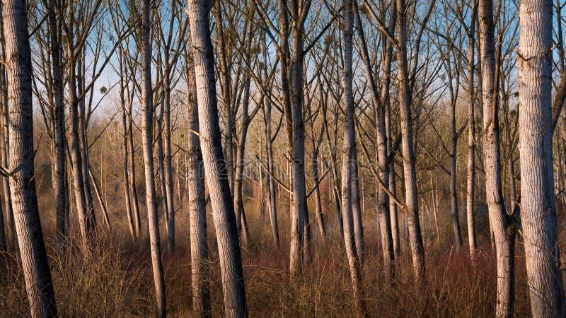 在文件durin的柳树每干燥期间在冬天 免版税库存图片