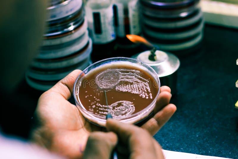 在文化板材的细菌接种使用由科学家化验员的接种圈在微生物学实验室 免版税库存照片