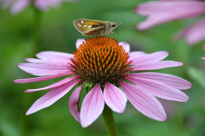 在斜向一边花的蝴蝶 免版税图库摄影