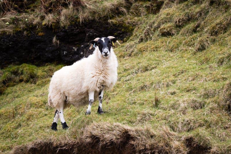 在斯凯岛的绵羊 免版税库存图片