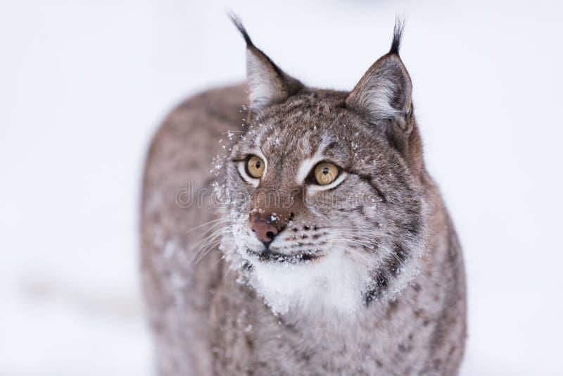 在斯堪的那维亚狩猎的天猫座 库存图片