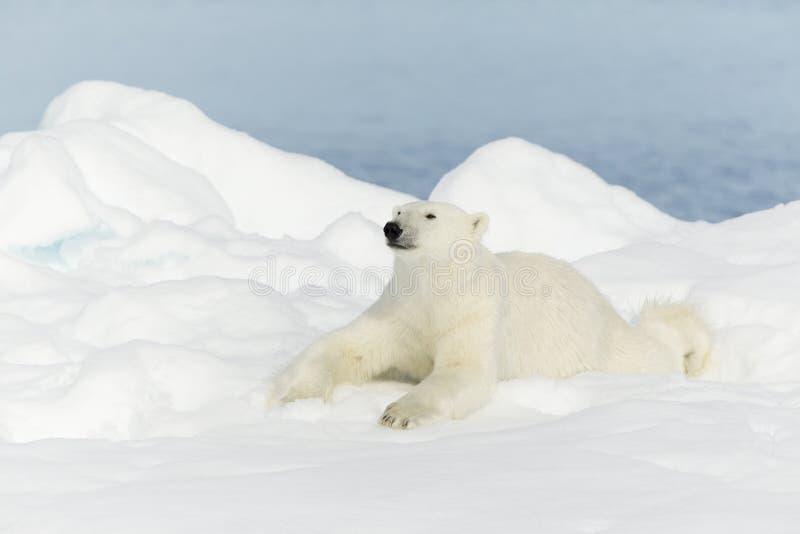 在斯瓦尔巴特群岛的北极熊 免版税库存照片
