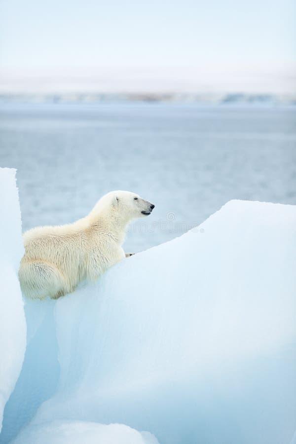 在斯瓦尔巴特群岛的北极熊 免版税库存图片