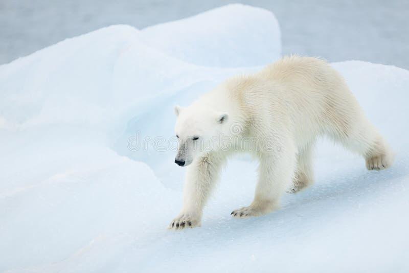 在斯瓦尔巴特群岛的北极熊 库存照片