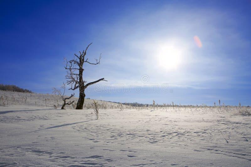 在斯诺伊农田的弯的死的树 库存图片