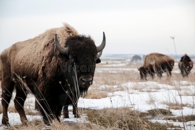 在斯诺伊领域的北美野牛 库存图片