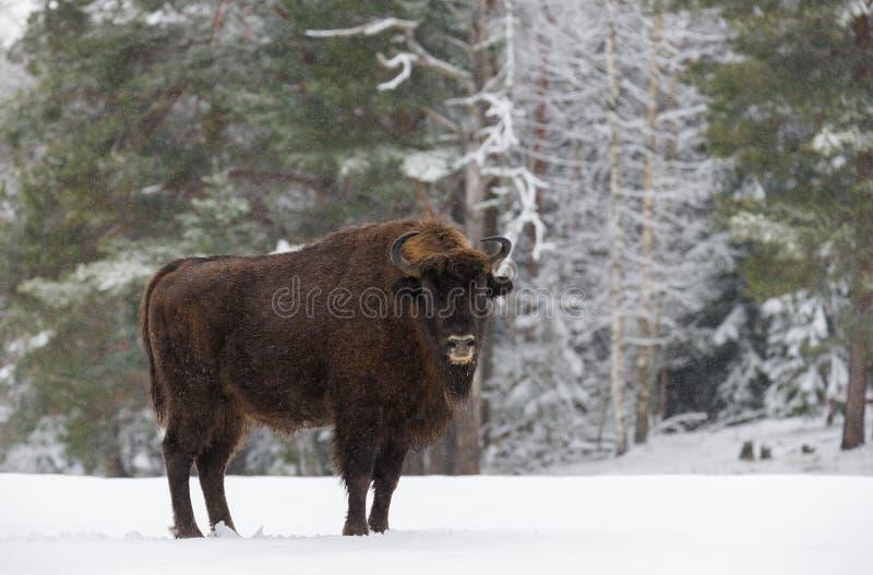 在斯诺伊领域的唯一成人狂放的欧洲人布朗北美野牛北美野牛Bonasus在森林背景 与Sno的欧洲野生生物风景 免版税库存图片