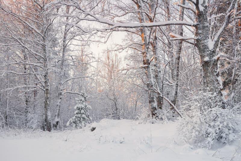 在斯诺伊ForestWinter森林风景的冷淡的风景 美好的冬天早晨在一个积雪的桦树森林积雪的Tr里 图库摄影