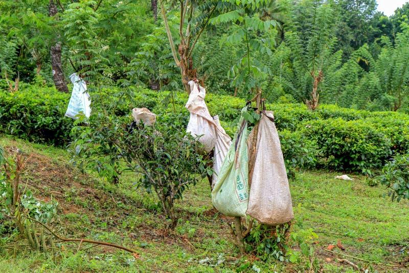 在斯里兰卡拾起茶 免版税库存图片