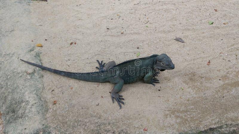 在新加坡动物园的懒惰鬣鳞蜥 免版税库存图片