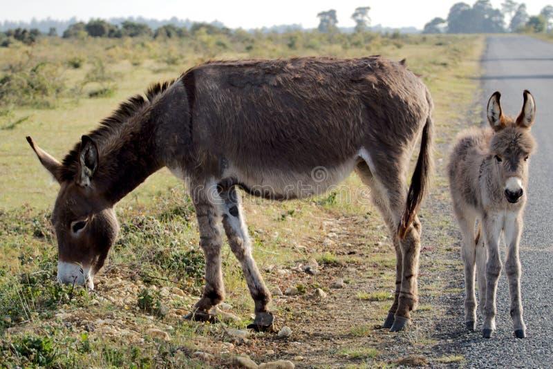 驴在新的森林里 免版税库存照片