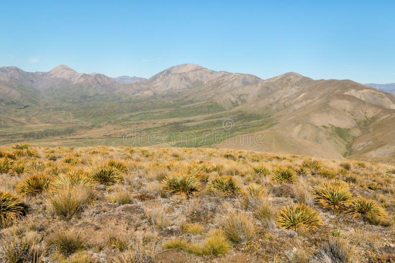 在新西兰刺中生长在Awatere谷上的贫瘠小山的草植物 免版税库存图片