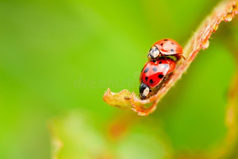 Download 在新鲜的春天叶子的两只交配瓢虫 库存图片. 图片 包括有 少许, 卧室, 宏指令, brander, 庭院 - 72363169