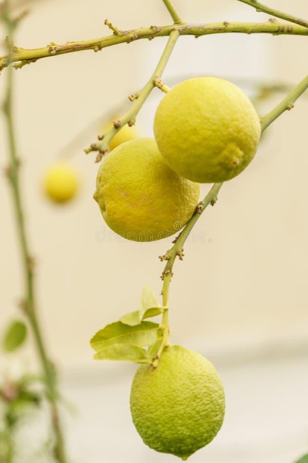 在新鲜的有机和健康柠檬植物的看法 农业与自然明亮的黄色颜色的柑桔 免版税库存照片