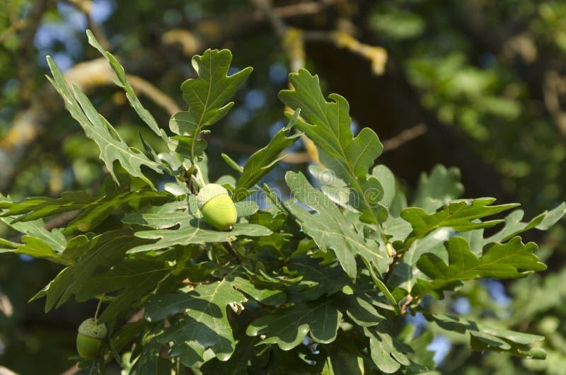 在新鲜的橡木叶子中的绿色橡子,自然光 免版税库存图片