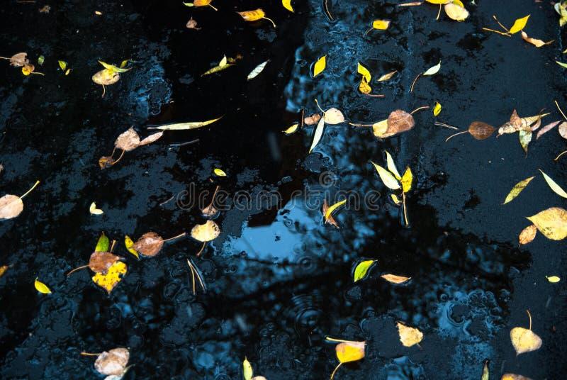 在新鲜的沥青和水坑的黄色叶子 免版税库存照片