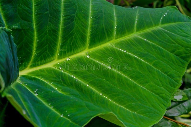 在新鲜的绿色芋头叶子的水下落在雨以后 免版税库存图片