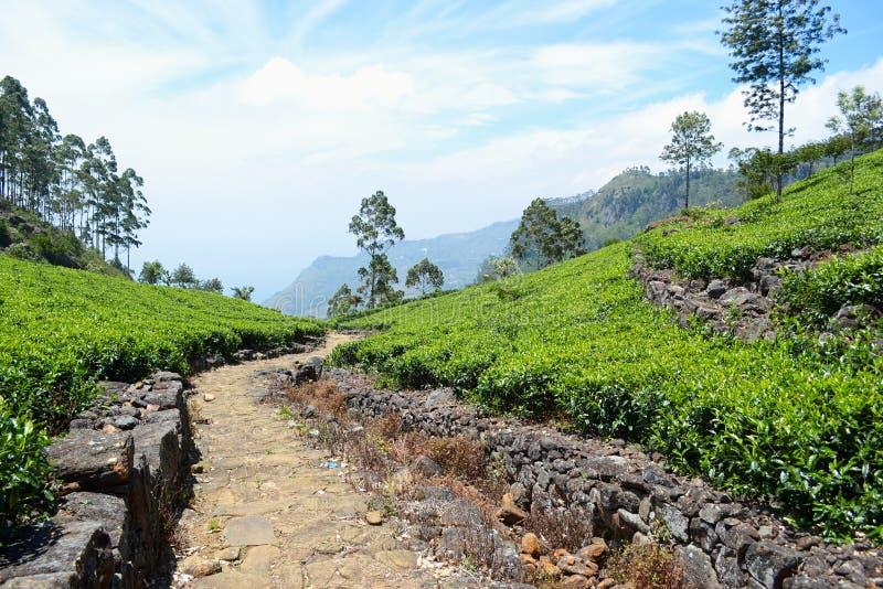 在新鲜的绿茶大蕉之间的石路 库存照片