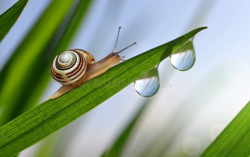 在新鲜的绿色春天草的蜗牛与露滴 免版税库存照片