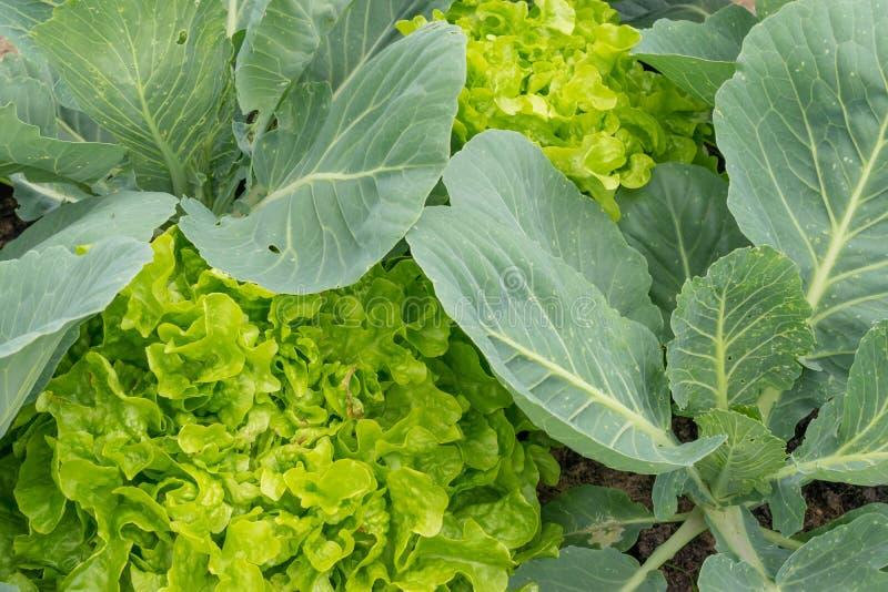 在新鲜的绿色莴苣沙拉的顶视图 健康的食物 图库摄影