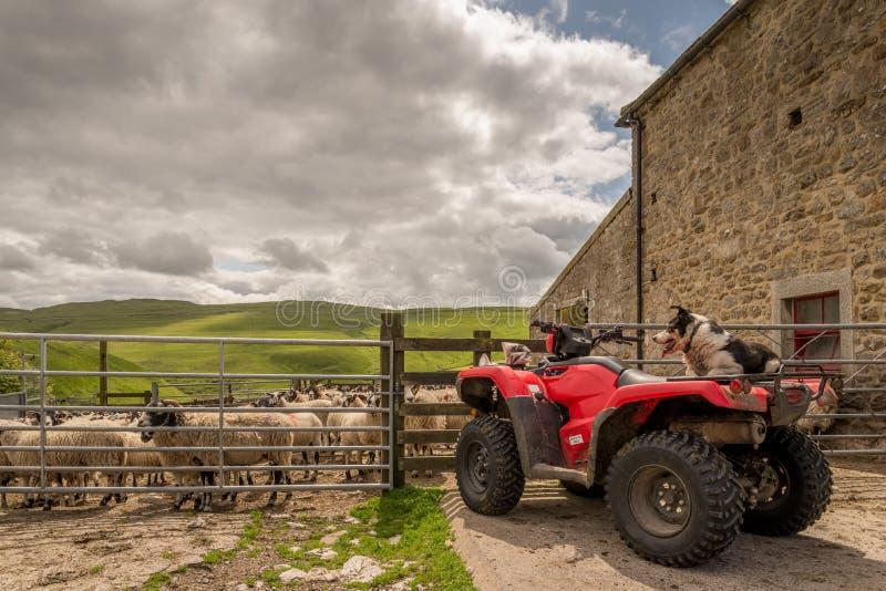 在方形字体自行车的护羊狗观看的绵羊 免版税库存照片