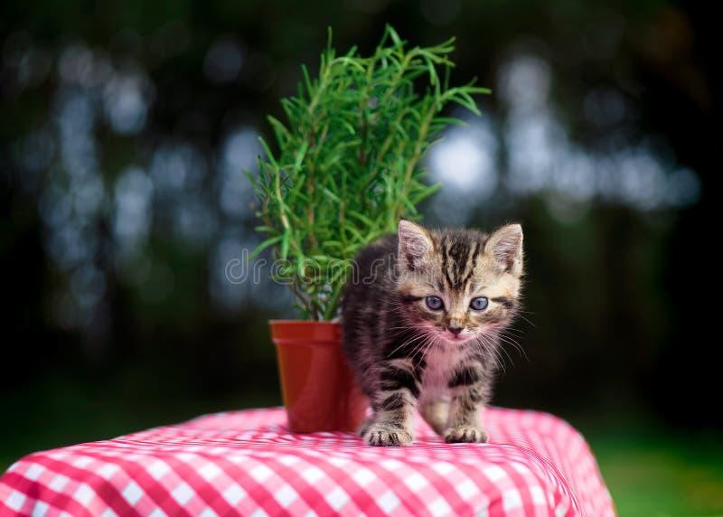 在方格花布桌布的平纹小猫 免版税库存图片