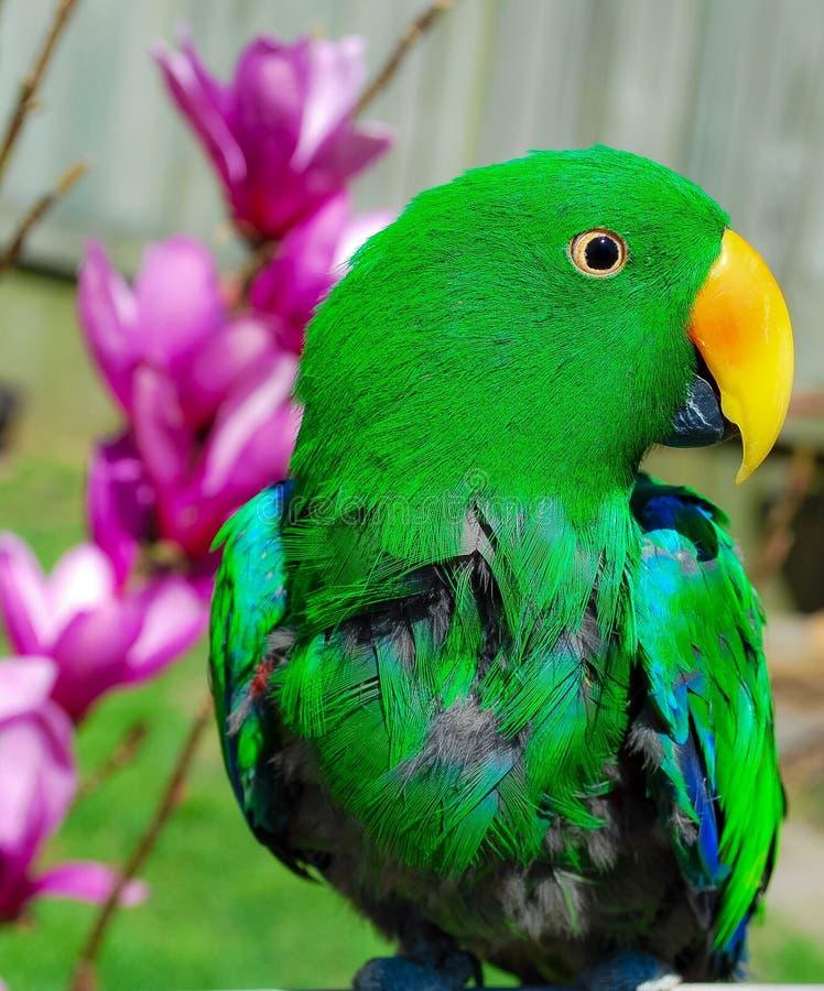 在旁边变粉红色花的绿色鹦鹉 库存照片
