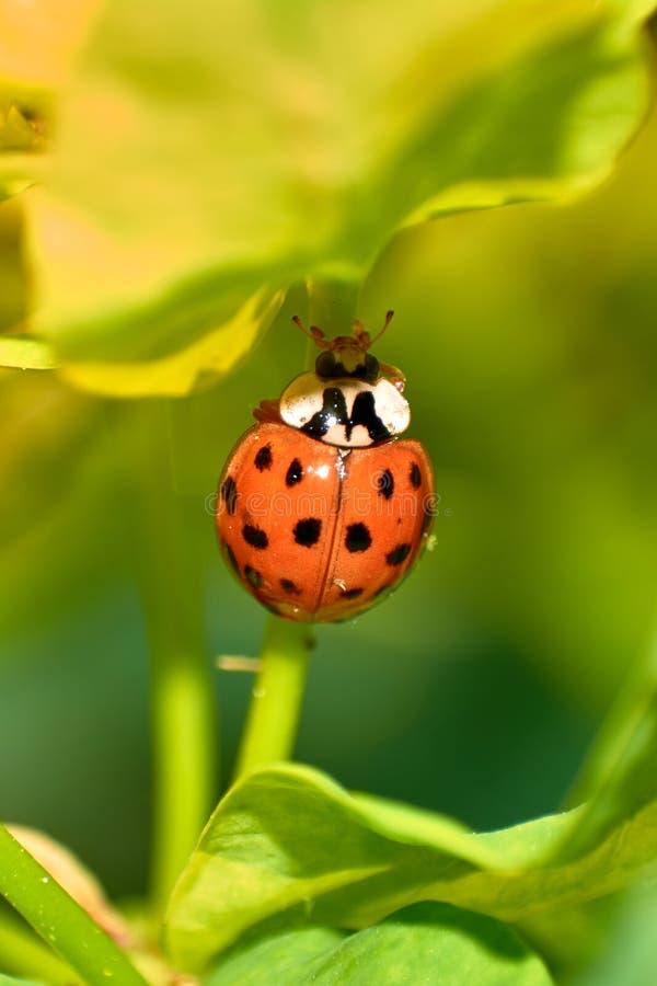 在无核小葡萄干植物棍子的年轻橙色瓢虫身分  库存图片