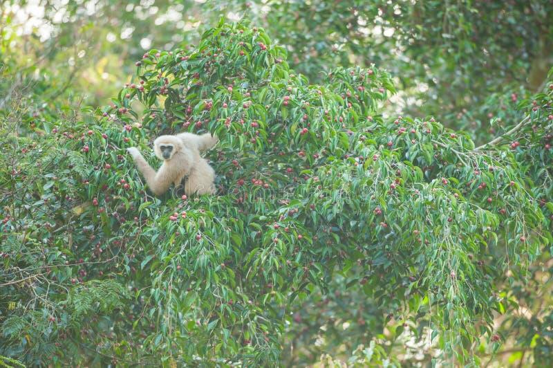 在无花果树的共同的长臂猿 免版税库存图片