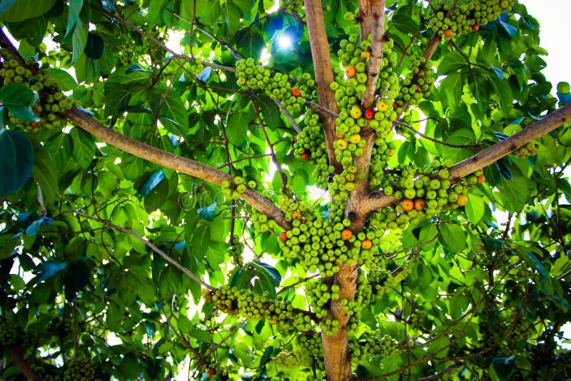 在无花果树的无花果果子 库存照片