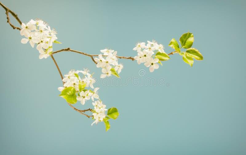 在无言颜色的春天开花的分支 库存图片