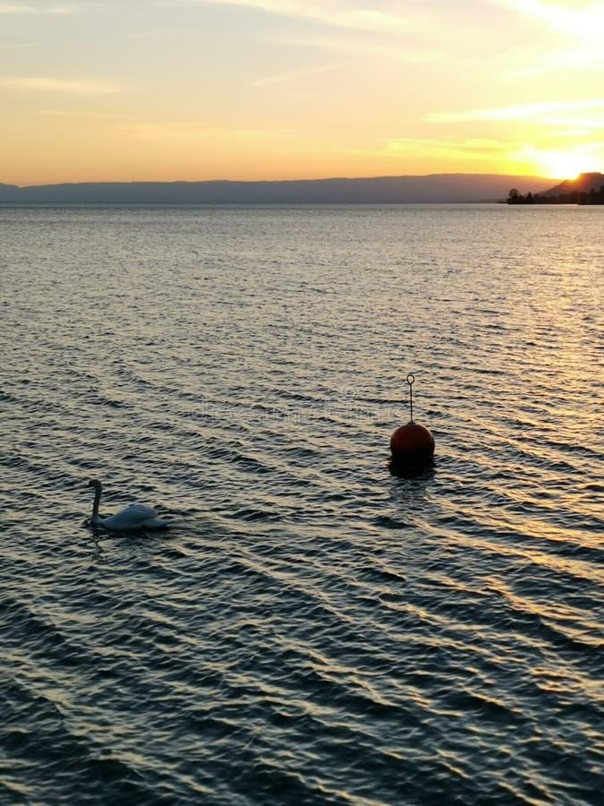 在日内瓦湖的日落有作为客人的一只天鹅的在第一地面上 免版税库存图片