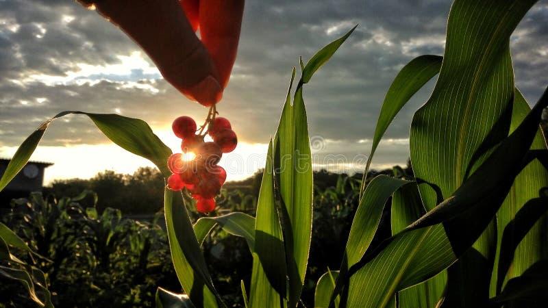 在日出期间的莓果 库存照片