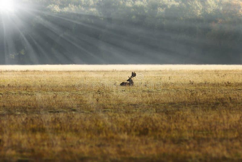 在日出橙色光的小鹿雄鹿 免版税图库摄影