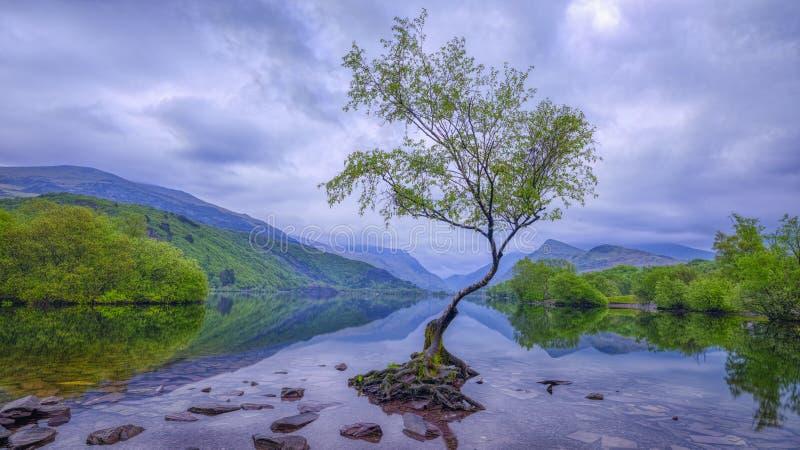 在日出的偏僻的树在Llanberis附近的Llyn Padarn,威尔士,英国 库存照片