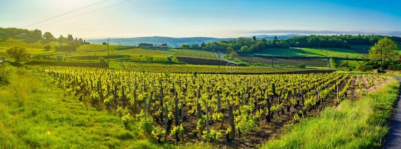 在日出的全景风景与葡萄园和乡下在博若莱红葡萄酒 库存照片
